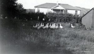 Ducks with the school building in the background, Round Lake Indian Residential School.