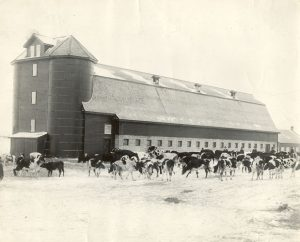Cows standing in front of dairy barn in winter.