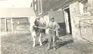 Student handling a bull, Brandon Industrial Institute.
