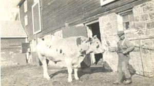 Student handling a bull, Brandon Industrial Institute